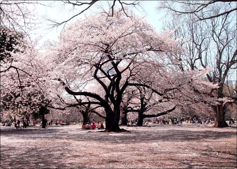 花見デート!東京の大学生におすすめ穴場スポット5選!持ち物は?