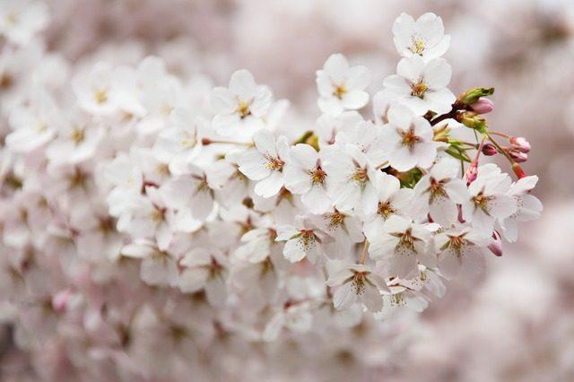 スタバ2017桜さくらマグとタンブラー値段まとめ!カードも!!あられ入りドリンク★